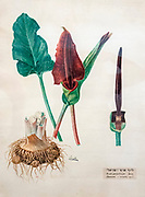 Hand drawn and painted botanic study of  Palestine Arum (Arum palaestinum) AKA Loof wildflower in Israel