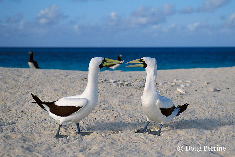 masked boobies, Sula dactylatra, courting, exchanging a gift of a pebble, Sand Cay, Flinders Reef, ( Coral Sea )