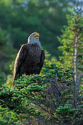 Bald Eagle -  Haliaetus leucophalus sitting in a conifer with its beak open