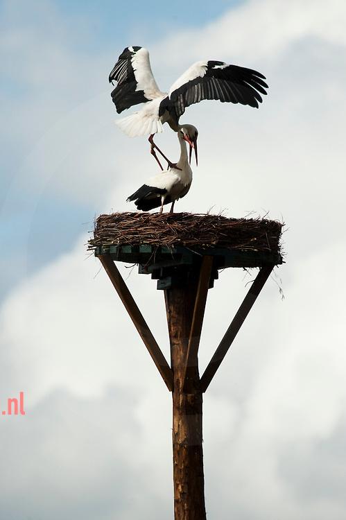 Ooievaars keren terug naar nederland na hun overwintering in Afrika. Het mannetje komt eerst en bezet een nest, daarna is het zaak dit nest te behouden te wachten tot zijn partner van vorig jaar terugkeert. Als het wijfje het af laat weten kiest het mannetje een ander om mee te paren.