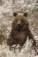 During an autumn snow squall, a two-year-old grizzly cub stands upright to get a better look at his surroundings. After determining that there was no danger, the cub and his family returned to foraging.