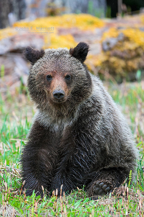 Young grizzly bear cub in British Columbia