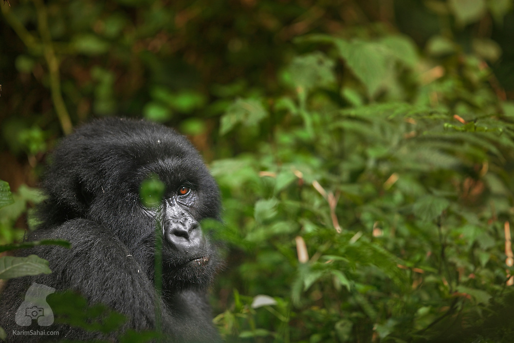 Female mountain gorilla sitting in a clearing at the Volcanoes National Park, Rwanda.