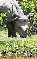 Indian One-horned Rhinoceros, Rhinoceros unicornis, Bardiya National Park, Nepal