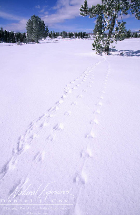 Yellowstone National Park. Animal tracks in the snow. Winter