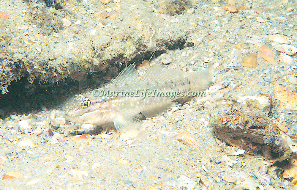 Bridled Goby inhabit shallow sand and rubble areas, often near shore and patch reefs in Tropical West Atlantic; picture taken Hollywood, FL.