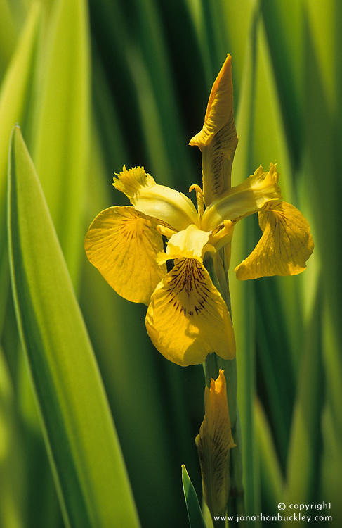 Yellow Flag iris. Iris pseudacorus 'Variegata'