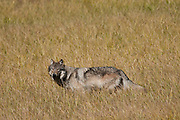 Grey Wolf, Canis lupus at Yellowstone National Park, WY, on Sept. 8, 2012.  (Photo by Aaron Schmidt © 2012)