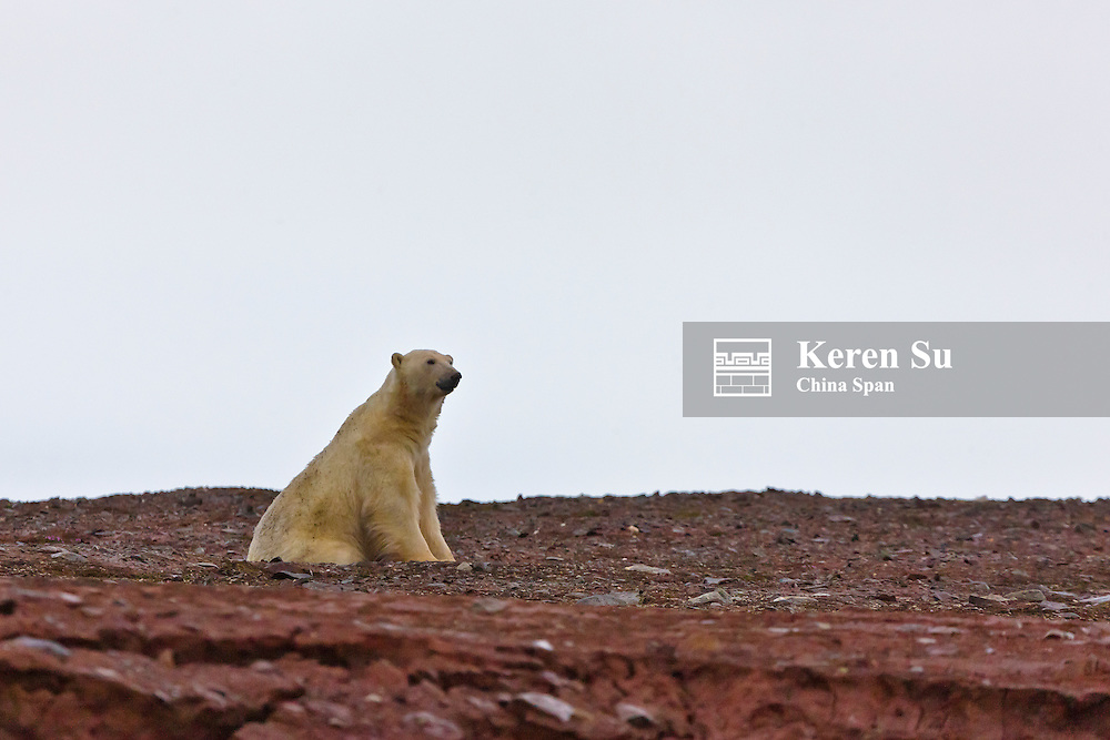 Polar Bear, Woodfjord, Spitsbergen, Norway