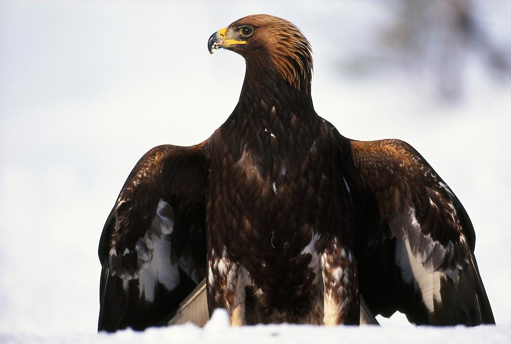 MALE GOLDEN EAGLE MANTLING CARCASS