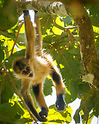 Spider monkey juvenile hanging  in an aguacatillo tree with a fruit, which is known as wild avocado, in its mouth. © 2016 David A. Ponton