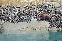 Brown Bear feeding in the intertidal zone in Glacier Bay National Park and Preserve, Alaska.