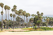 United States, California, Santa Barbara, California Fan Palms on the beach