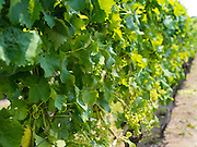 Closeup view of grape plants growing in a vineyard on Waiheke Island, New Zealand