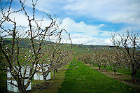 Orchard View farm in The Dalles, Oregon.  Cherry blossoms in spring.