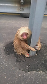 Cop Saves Tiny Terrified Sloth