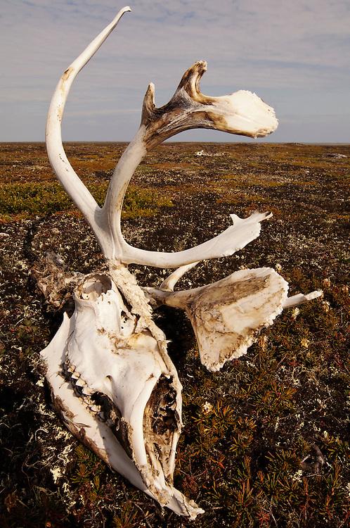 CANADA, Nunavut.Caribou (Rangifer tarandus) skull on the tundra