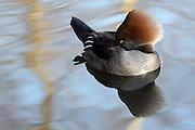 Sleeping Female Merganser, London Wetland Centre, Barnes, London