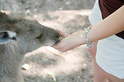 Eastern Grey Kangaroo Macropus giganteus in a park young woman in her 30's feeding the animal