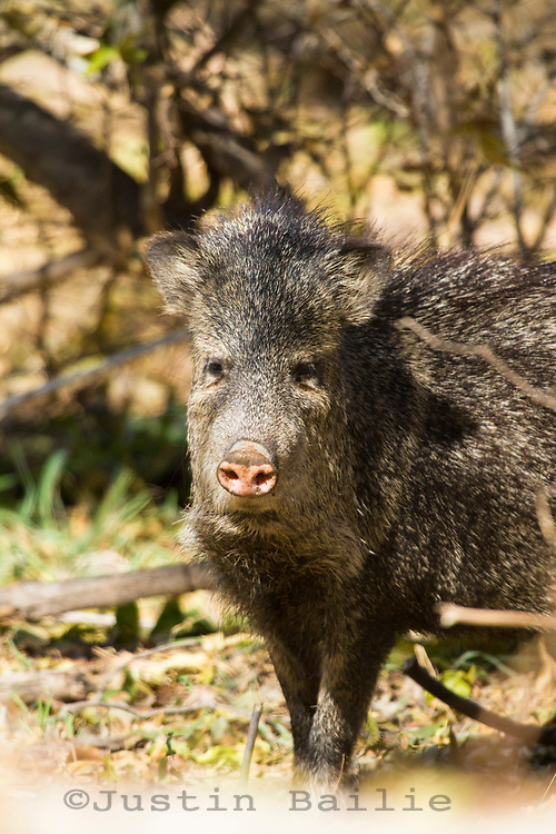 Collared Peccary or Javelina (Pecari tajacu) in Aravaipa Canyon Preserve, AZ.