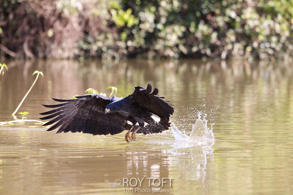 Great Black Hawk (Buteogallus urubitinga) hunting, Pantanal, Brazil