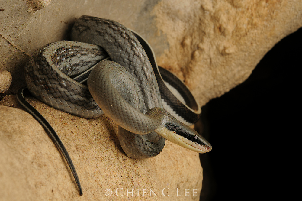 The Cave Racer (Orthriophis taeniurus grabowskyi) is an adept climber, capable of scaling limestone cave walls where it feeds on roosting bats and swiftlets.