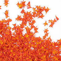 Flowerart: Montbretia, irish Wildflowers / fa015