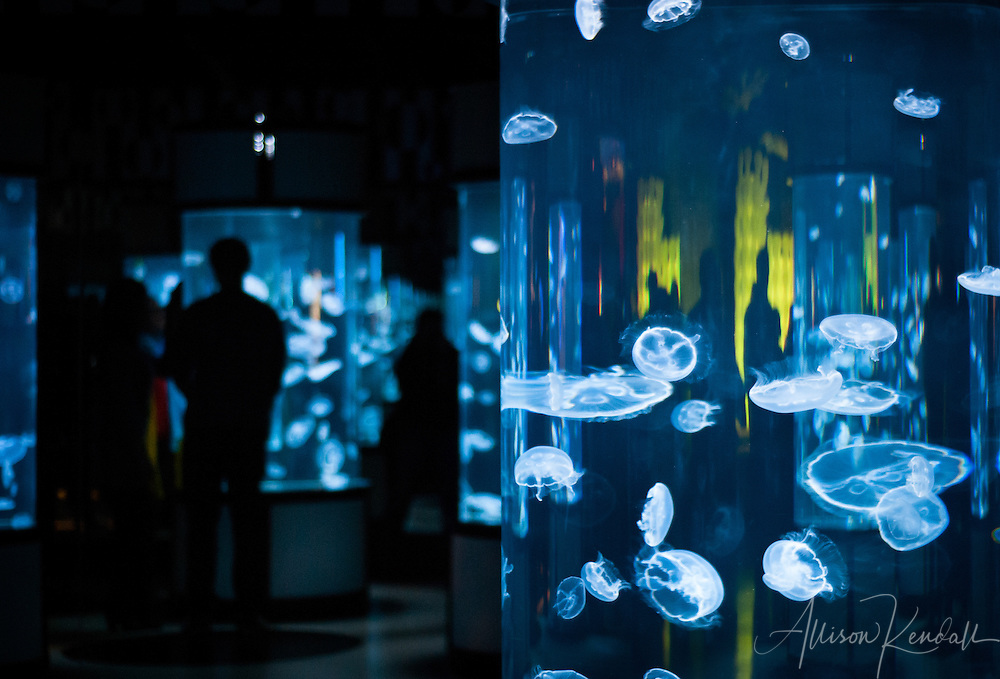 Visitors to the Monterey Bay Aquarium enjoy the new mirrored hall of moon jellyfish on exhibit.