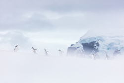 The dark and gloomy clouds above Useful Island, Antarctica kept making it feel like it should snow, but no snowflakes ever fell.  By getting low and shooting through a snowbank, I was able to make it look like these gentoo penguins running across a distant hill were walking through blowing snow, capturing the feeling of the day.