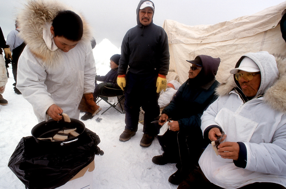 Alaska, Barrow, native whaling crew eating fresh muktuk, or whale blubber and skin, from a bowhead whale caught during the hunt