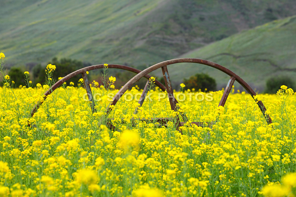 Rusty Wagon Wheels In The Mustard Fields