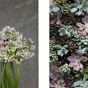 Allium & Escheveria, Dennis Edwards Flowers
