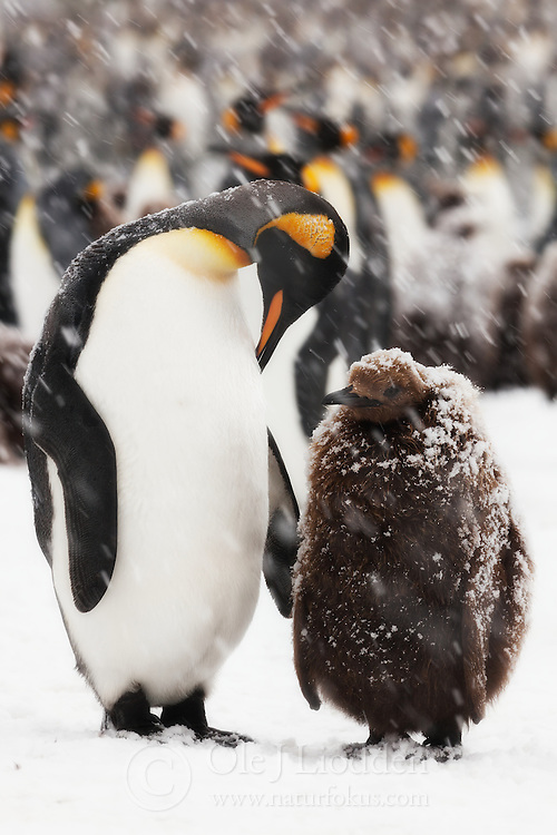 King Penguin (Aptenodytes patagonicus), adult and chick, South Georgia Islands, Southern Ocean, Antarctic Convergence