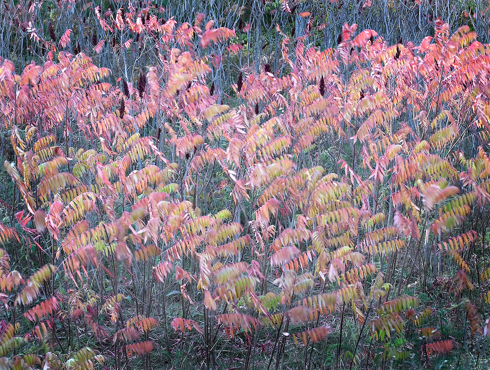patch of autumn sumac