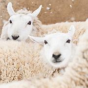 20120413 Tina Sheep & Goats