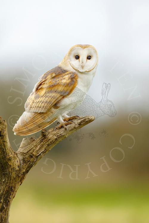 Barn Owl (Tyto Alba) adult perched on dead tree branch, Norfolk, UK.