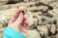 Woman's hand holding a hermit crab (Pagarus acadianus) in periwinkle shell with a rocky coastline in the background, Ship Harbor Nature Trail, Maine