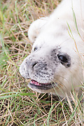 Donna Nook, Lincolnshire, UK – Nov 15: Close up on a cute fluffy newborn baby grey seal pup on 15 Nov 2016 at Donna Nook Seal Santuary, Lincolnshire Wildlife Trust