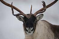 Wild reindeer (Rangifer tarandus) forollhogna national park , norway, september,