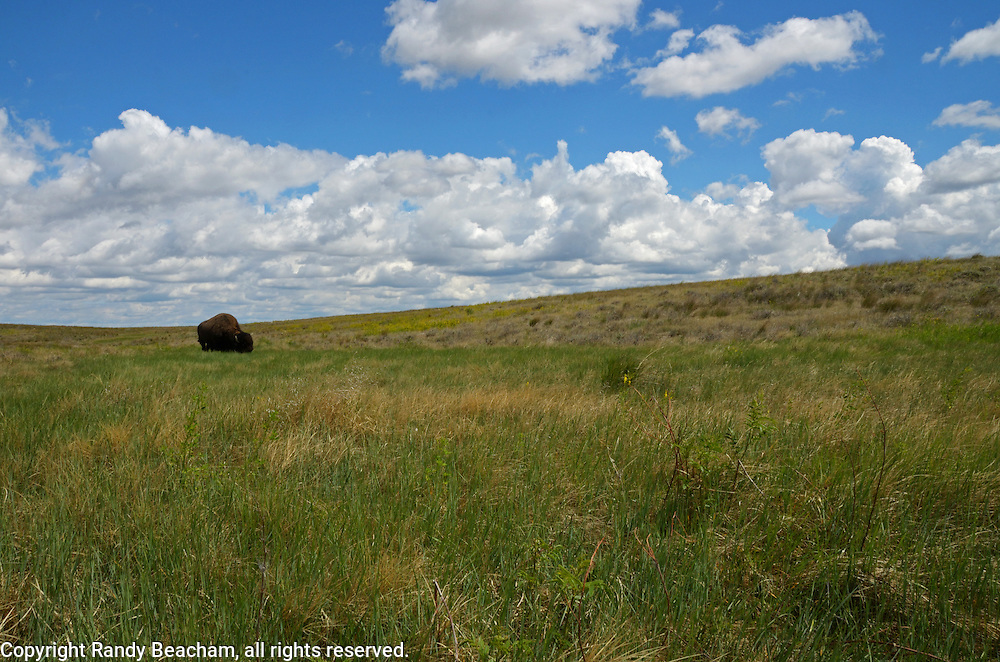 Bison on the Great Plains of Montana at American Prairie Reserve. South of Malta in Phillips County, Montana.