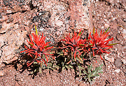 Indian Paintbrush (Castilleja) flowers bloom red in Monument Canyon in Colorado National Monument, near Grand Junction, Colorado, USA. This desert land is high on the Colorado Plateau dotted with pinion and juniper forests. Castilleja is a genus of about 200 species of annual and perennial herbaceous plants native to the west of the Americas from Alaska south to the Andes, plus northeast Asia. These plants are classified in the family Orobanchaceae and are hemiparasitic on the roots of grasses and forbs.