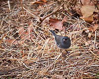 Dark-eyed Slate-colored Junco. Late Autumn Backyard Nature in New Jersey. Image taken with a Fuji X-T2 camera and 100-400 mm OIS lens (ISO 500, 400 mm, f/5.6, 1/60 sec)
