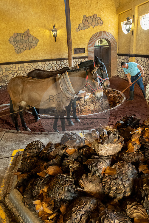 A worker crushes blue agave fibers using an ancient donkey-pulled tahona or stone wheel mill at the Casa Siete Leguas, El Centenario tequila distillery in Atotonilco de Alto, Jalisco, Mexico. The Seven Leagues tequila distillery is one of the oldest family owned distilleries and produces handcrafted tequila using traditional methods.