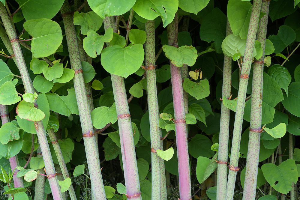Japanese knotweed, Islay, Scotland