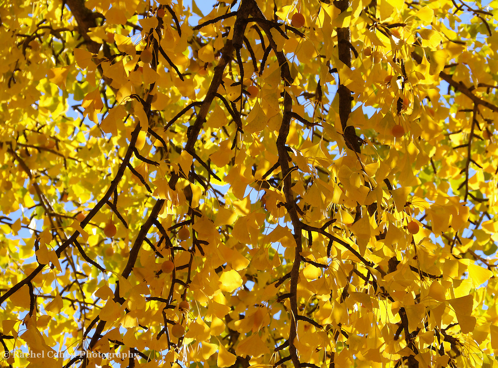 &quot;Curtain of Golden Leave&quot; <br /> <br /> As if a curtain of gold has descended from the sky! Beautiful branches of golden Ginkgo Leaves lit with fall sun stream down in autumn glory!