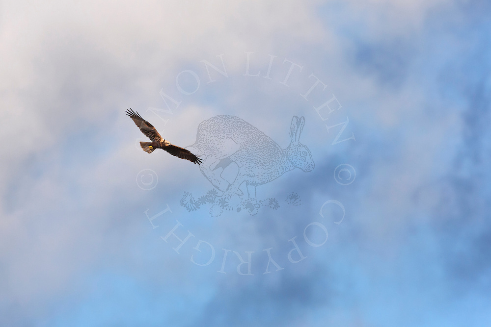 Marsh Harrier (Circus aeruginosus) adult female in flight, Norfolk, UK.