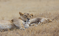 Lioness glares from a rude awakening