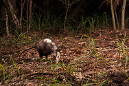 Virginia opossum (Didelphis virginiana)<br /> TEXAS: Newton Co.<br /> pool below cave at Scrappin Valley property off of R255<br /> 14-Jun-2015<br /> J.C. Abbott #2773 &amp; K.K. Abbott<br /> Trap Camera