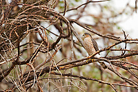 A Coopers Hawk rests midday in an old dead tree overlooking a large farmland field.