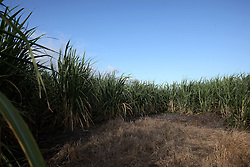 MAURITIUS FLIC EN FLAC 4MAY13 - Sugar cane field near Flic en Flac, Mauritius.<br /> <br /> <br /> <br /> <br /> jre/Photo by Jiri Rezac / Greenpeace